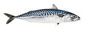 mackerel atlantic
