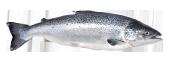 salmon atlantic